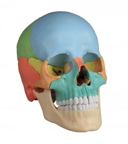 Osteopathic Skull Model, 22 part, didactical version  - zdjęcie nr: 1