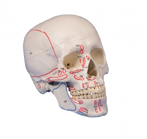 Skull model, 3-part, with muscle marking - zdjęcie nr: 1