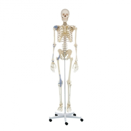 Skeleton Otto with ligaments - photo nr: 1