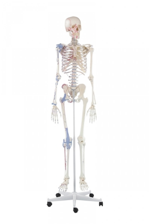 Skeleton Bert with muscle markings and ligaments - zdjęcie nr: 1