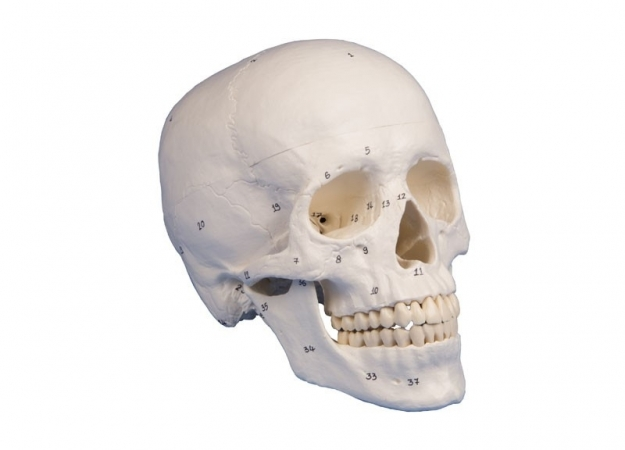 Skull model, 3-part, numbered - zdjęcie nr: 1