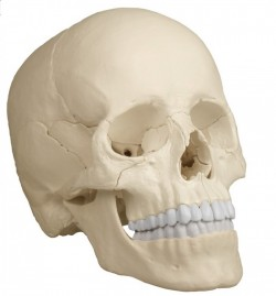Osteopathic Skull Model, 22 part, anatomical version - zdjęcie nr: 1