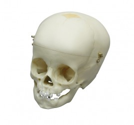 Child Skull, 1 year old - photo nr: 1