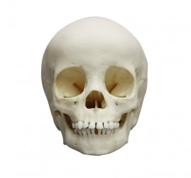 Child skull, 3 year old - photo nr: 1