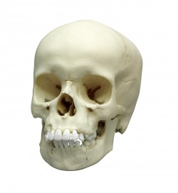 Child Skull, 9 year old - zdjęcie nr: 1