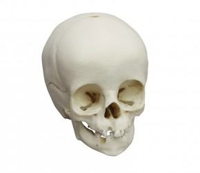 Child skull, 14 months old - photo nr: 1