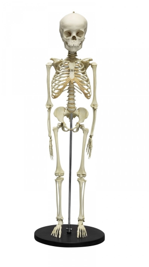 Child Skeleton, 5 year old - zdjęcie nr: 1