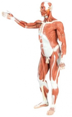 Life size Male Muscular Figure, 37-part - photo nr: 1