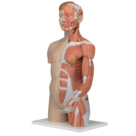 Life-size Dual Sex Torso with Muscle Arm, 33-part - zdjęcie nr: 1