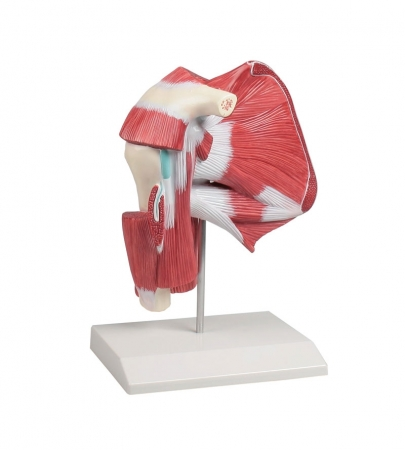 Model of Shoulder with Deep Muscle - photo nr: 1