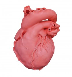 Heart model, professional - photo nr: 1