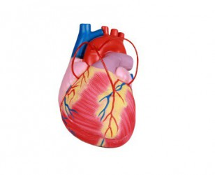 Heart with Bypass, 2x life size, 2 parts - zdjęcie nr: 1