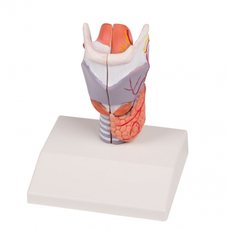 Larynx Model, life size, 2-part - photo nr: 1