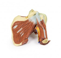 Model of shoulder - deep dissection of the left shoulder joint - zdjęcie nr: 1