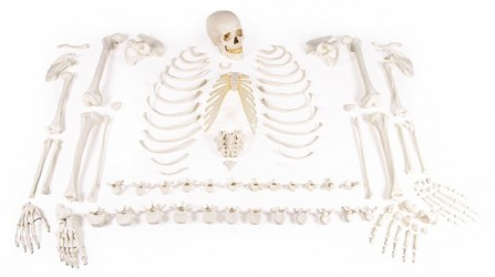 Skeleton, unassembled (bone collection) - photo nr: 1
