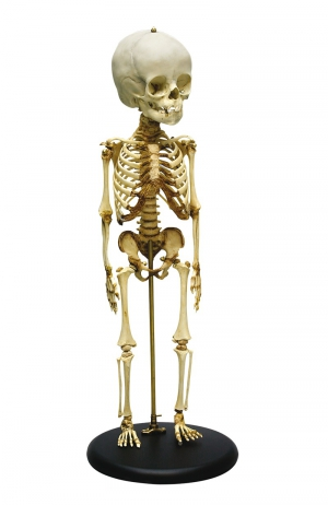 Child skeleton 14 to 16 months old - zdjęcie nr: 1