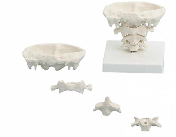 Head articulations, natural size with stand - zdjęcie nr: 1