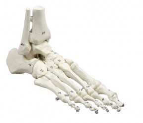Skeleton of foot with tibia and fibula insertion, numbered - photo nr: 1