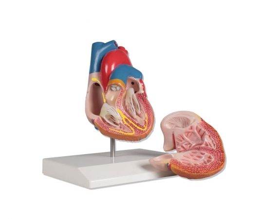 Heart model, 2 part, with conducting system - photo nr: 1