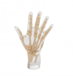 X-Ray Phantom Hand, transparent , real bone - photo nr: 1