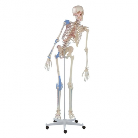 Skeleton Max with movable spine, muscle markings and ligaments - photo nr: 1