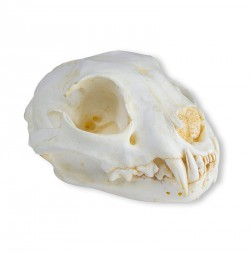 Cat Skull with removable mandible - zdjęcie nr: 1