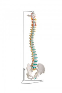 Flexible vertebral column model - photo nr: 1