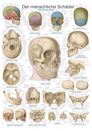 Anatomical charts - human skull - photo nr: 1