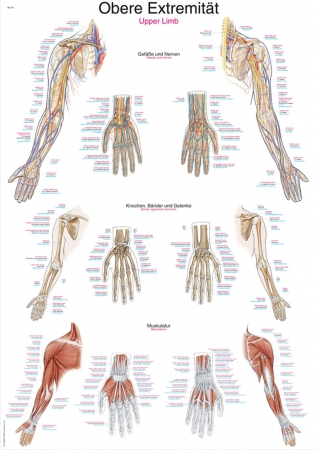 Anatomical chart upper limb - photo nr: 1