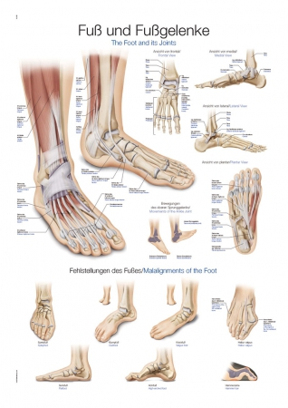 Chart - Foot and Ankle - photo nr: 1