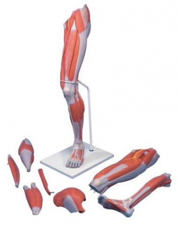 Deluxe Muscle Leg, 7 part, Life Size - zdjęcie nr: 1