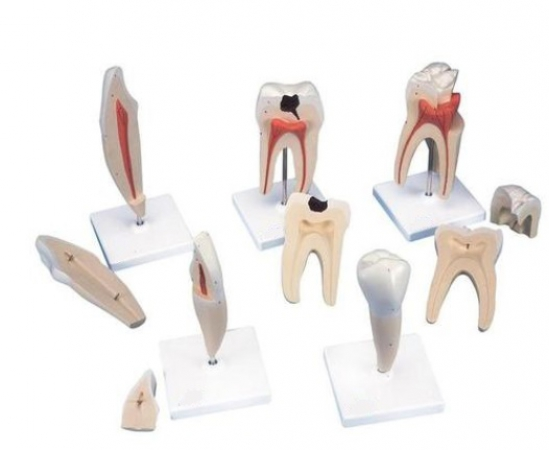 Classic Tooth Model Series, 5 models - photo nr: 1