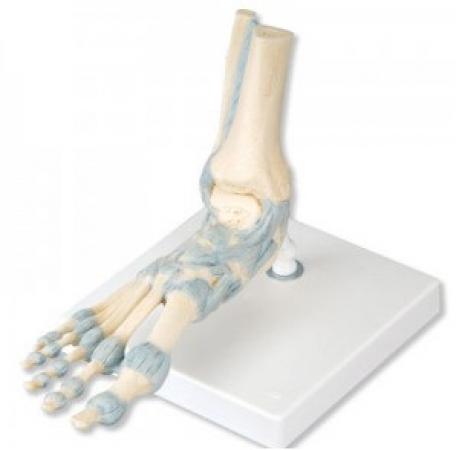 Foot Skeleton Model with Ligaments - photo nr: 1