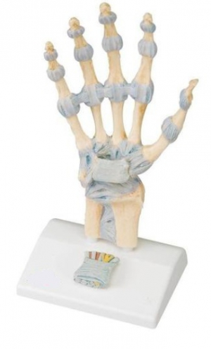 Hand Skeleton Model with Ligaments and Carpal Tunnel, 3 parts - zdjęcie nr: 1