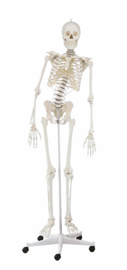 Skeleton Hugo with movable spine - zdjęcie nr: 1