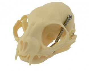 Feline skull with movable jaw - photo nr: 1