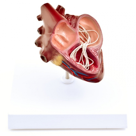 Canine Heartworm Model - photo nr: 1