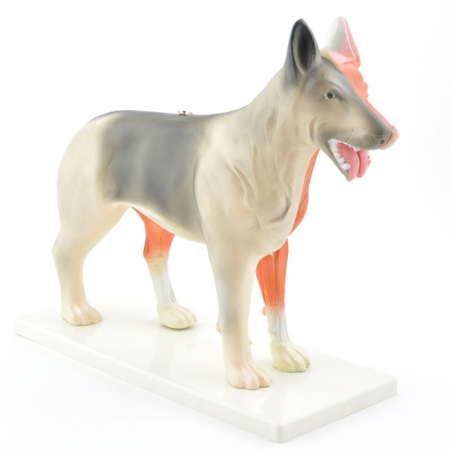 Disassemblable Canine Model - photo nr: 1