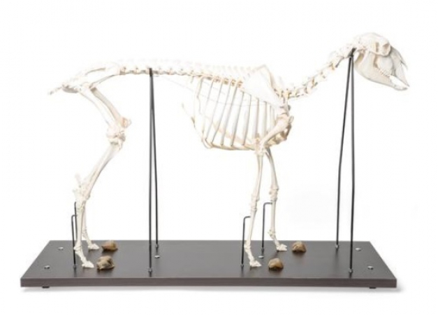Sheep skeleton, female - photo nr: 1