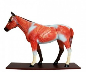 Didactic horse anatomical model, 12 parts - zdjęcie nr: 1