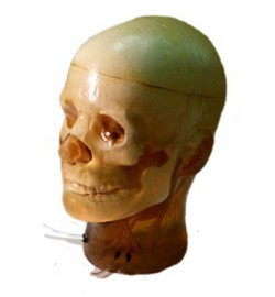 Adult Head Phantom (Dynamic) for MRI, CT and Ultrasonography - photo nr: 1