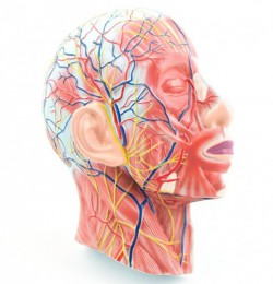 Head model with muscles, blood vessels and nerves - photo nr: 1
