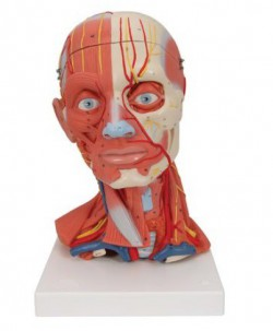 Model of head and neck with muscle, 5 parts - zdjęcie nr: 1