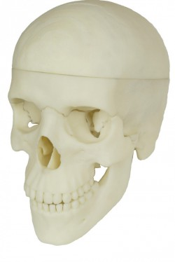 Detailed 3d skull model for learning anatomy, 4-parts  - photo nr: 4