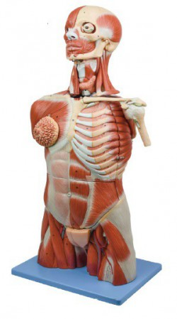 Musculature model of the torso, head and neck - zdjęcie nr: 1