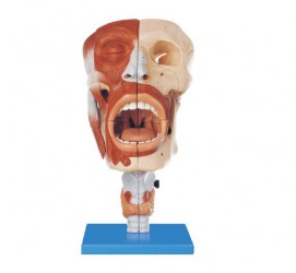 Head model with Nasal,Oral,Pharynx and Larynx Cavities - zdjęcie nr: 1