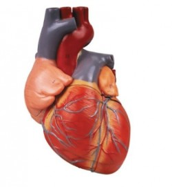 Detailed Human Heart Model, 4-parts, enlarged  - zdjęcie nr: 1