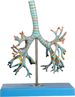 Bronchial tree model - zdjęcie nr: 1