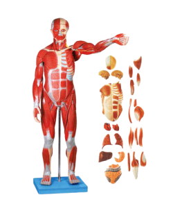 Muscles of Male with internal Organs(78cm high) - zdjęcie nr: 1