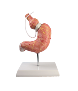Stomach model with gastric band - zdjęcie nr: 1